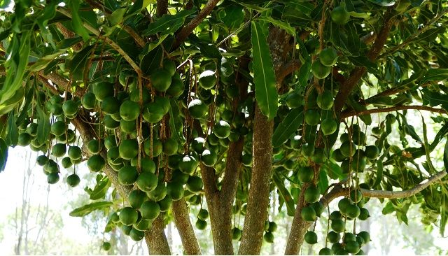 The Australian Macadamia Industry's Unique Contribution to Conservation