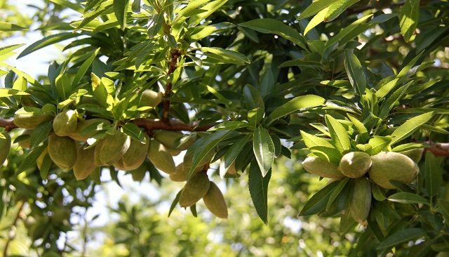 Developing High-Performing Varieties for Almond and Macadamia Growers